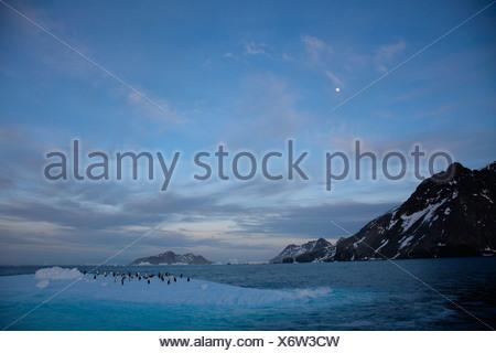 Gentoo penguins on an iceberg floating off South Georgia. - Stock Photo