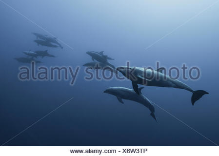 Family of Bottlenose Dolphin (Tursiops Truncatus) swimming up from deep blue - Stock Photo