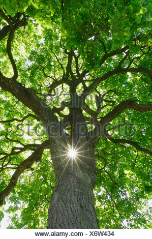 Germany, Mecklenburg-Western Pomerania, Chestnut Tree (Aesculus hippocastanum) with sun and sunbeams, low angle view - Stock Photo
