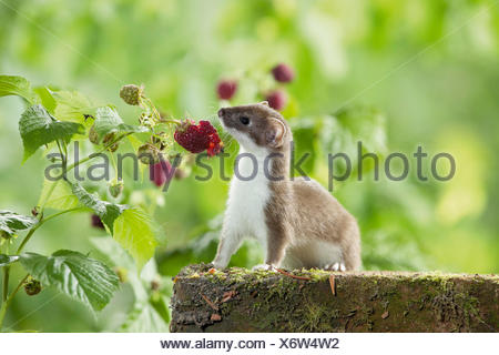Ermine Stoat Mustela erminea summer coat eating raspberry Germany - Stock Photo
