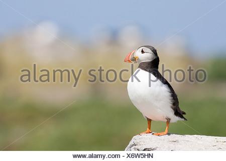 Atlantic puffin, Farne Islands - Stock Photo