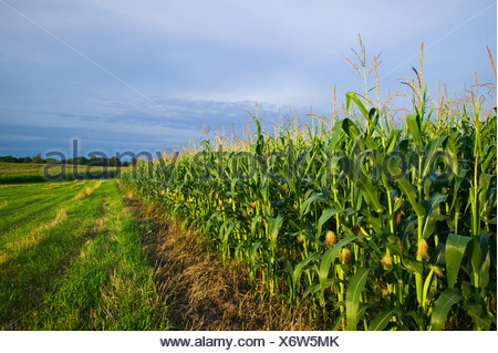 Agriculture - View looking down along the edge of a mid growth fully tasseled grain corn field / near Northland, Minnesota, USA. - Stock Photo