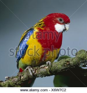 Branch Rosellasittich Platycercus eximius eximius wildlife animal bird parrot flat-tail-parakeet Eastern Rosella plumages - Stock Photo