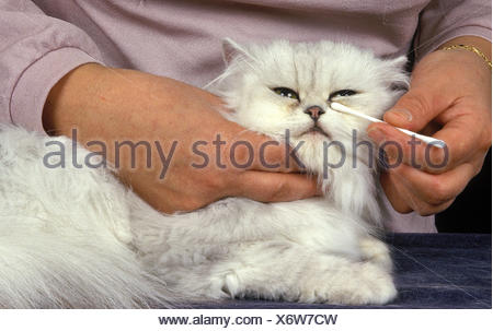 Woman with White Persian Domestic Cat, Cleaning Eyes - Stock Photo
