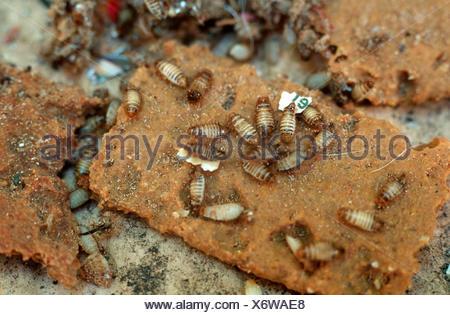 varied carpet beetle (Anthrenus verbasci) - Stock Photo