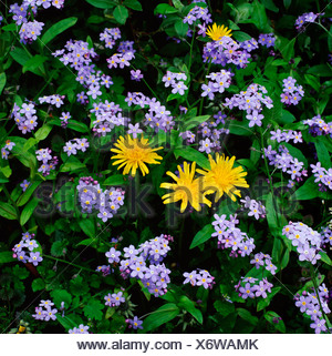 Forgetmenot and Dandelion - Stock Photo
