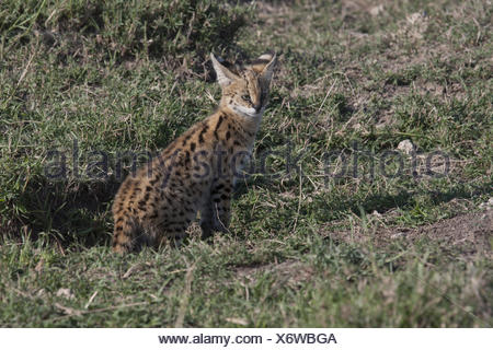 Serval Cats Cub - Stock Photo