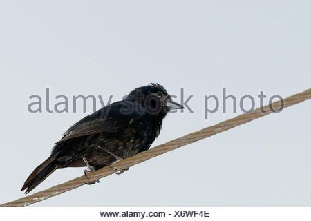 Bird, Tiê-preto, Ilha do Mel, Encantadas, Paraná, Brazil - Stock Photo
