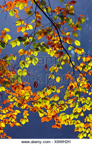 Autumn-coloured leaves, European Beech (Fagus sylvatica) - Stock Photo
