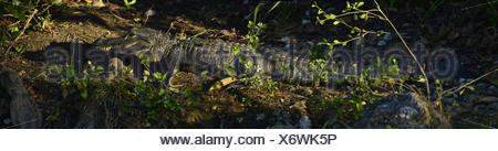 An American alligator in wetland. - Stock Photo