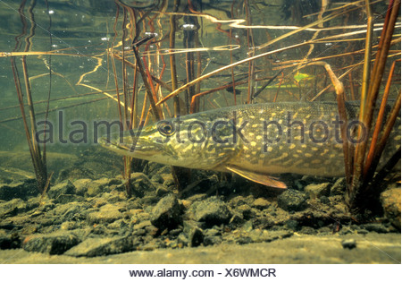Northern pike (Esox lucius) basking in the warm shallows of a northern lake, Canada. - Stock Photo