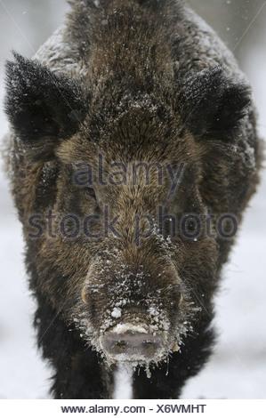 Wild boar foraging wild boar in winter, Sus scrofa, Lower Saxony, Germany, Europe - Stock Photo