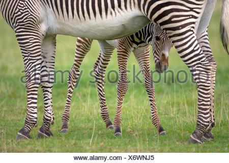 Grevy's Zebra - Equus grevyi - Stock Photo