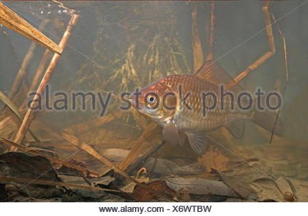 Photo of a gibel carp swimming in its environment underwater between reed and dead leafs. Carassius auratus gibelio. - Stock Photo