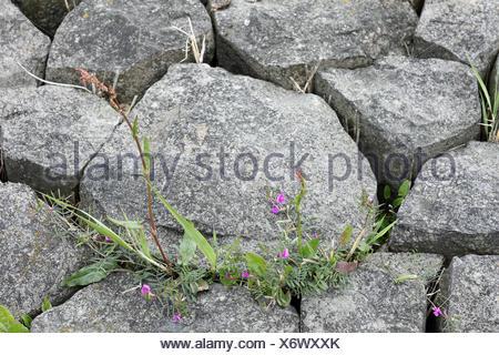 Plants growing between paving-stones - Stock Photo