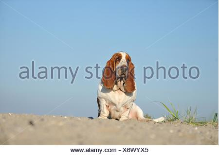 sitting Basset Hound - Stock Photo