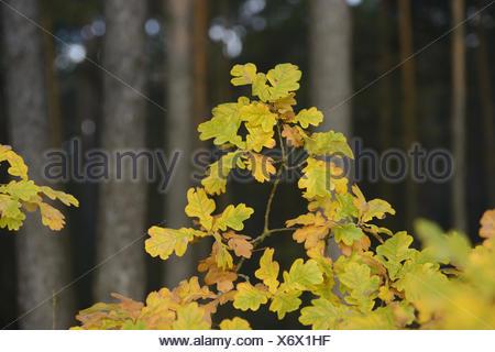 Common oak, Quercus robur, leaves, medium close-up, - Stock Photo