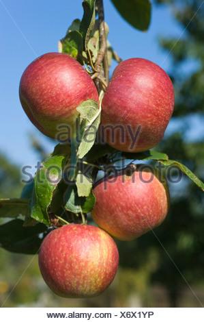 Ripe apples (Malus) on a twig, Franconia, Bavaria, Germany, Europe - Stock Photo