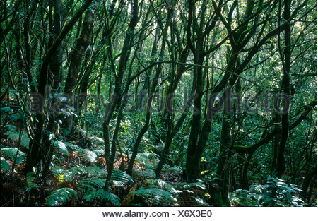 Trees in forest, Garajonay National Park, La Gomera, Canary Islands, Spain Stock Photo