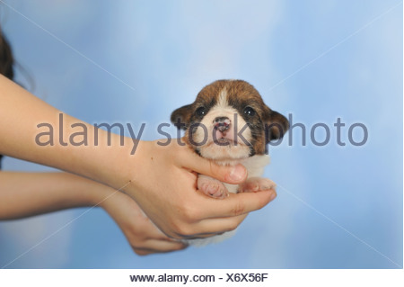 Jack Russell Terrier puppy, 2 weeks, being held by a child's hands - Stock Photo