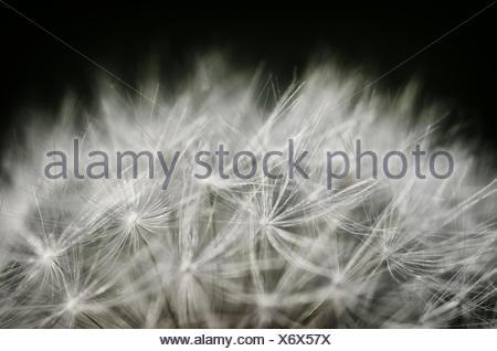 Dandelions - Flight screens - Stock Photo