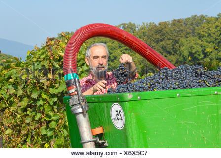 vine dresser harvesting blue grapes in a vineyard, Germany, Rhineland-Palatinate, Palatinate - Stock Photo