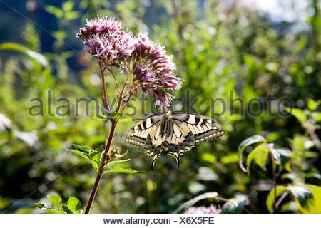swallowtail (Papilio machaon), sucking nectar at swallowtail, Eupatorium cannabinum, Germany - Stock Photo