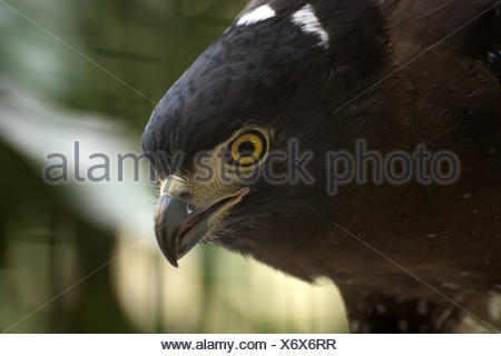 Portrait of a Crested Serpent Eagle, West Java, Indonesia - Stock Photo