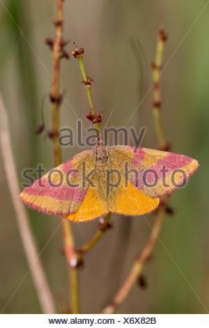 Purple-barred Yellow (Lythria cruentaria, Lythria rotaria), Purple-barred Yellow at a stem, Germany - Stock Photo