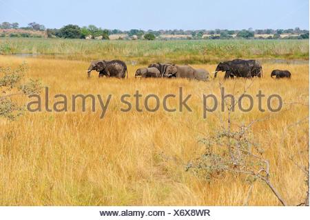 Africa, Bwa Bwata, National Park, Caprivi, Grazing, Namibia, african, elephant, animal, grasslands, graze, herding, horizontal, - Stock Photo