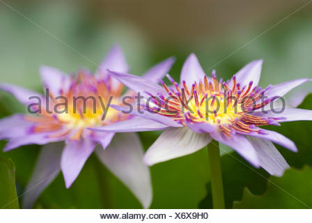 Tropical waterlily, Blue Pigmy (Nymphaea colorata), two flowers - Stock Photo