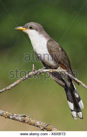 Yellow-billed Cuckoo - Coccyzus americanus - Stock Photo
