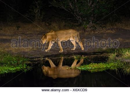 Female lion and her reflection in a pond at night, Linyanti Marshes, Botswana. - Stock Photo