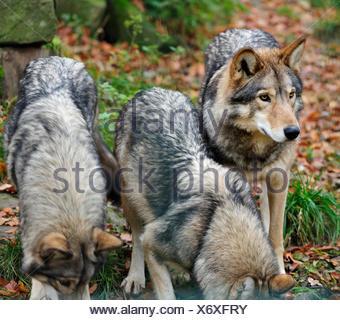 wild, wolf, leaf, environment, enviroment, tree, park, wild, animals, leaves, - Stock Photo