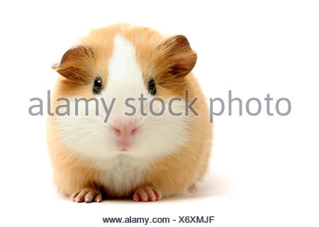 animal pet guinea - Stock Photo