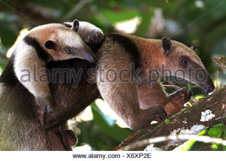 Northern Tamandua, Little Ant Bear (Tamandua mexicana), female with baby, Costa Rica - Stock Photo