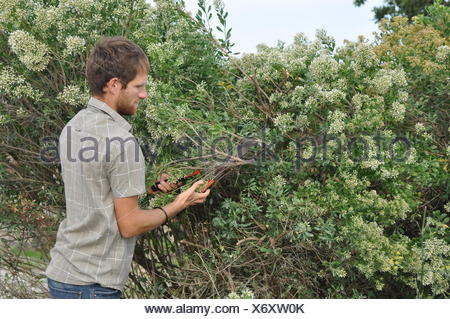 Cutting of groundsel bush inflorescences - Stock Photo