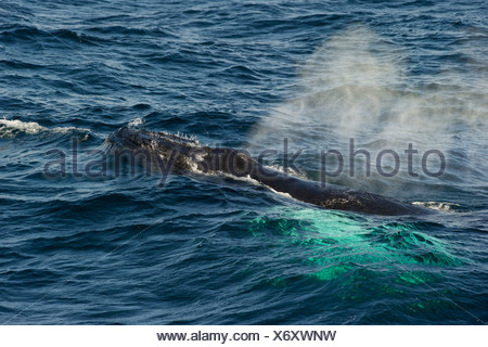 The humpback whale (Megaptera novaeangliae) a baleen whale surfaces - Stock Photo