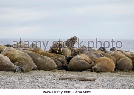 Group of male Walruses (Odobenus rosmarus), Torrellneset, Spitsbergen Island, Svalbard Archipelago, Svalbard and Jan Mayen - Stock Photo