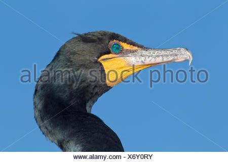 Double-crested Cormorant - Phalacrocorax auritis - Stock Photo