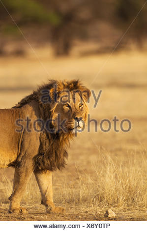 Black-maned Lion (Panthera leo vernayi), male, Kalahari Desert, Kgalagadi Transfrontier Park, South Africa - Stock Photo