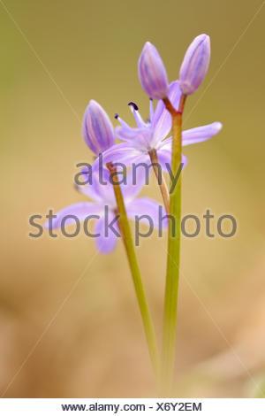 twin-leaf squill (Scilla bifolia), inflorescence, Germany - Stock Photo