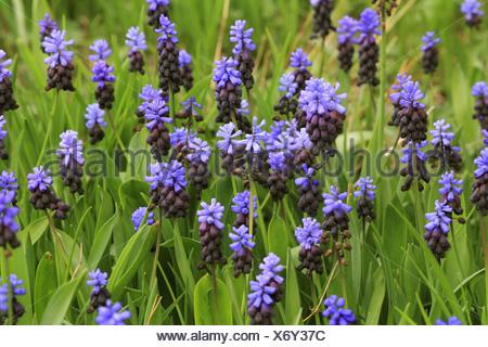 grape hyacinth (Muscari latifolium), blooming - Stock Photo