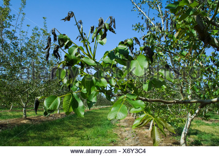 Agriculture - Damage walnut foliage caused by a heavy unusual Spring freeze / near Dairyville, California, USA.