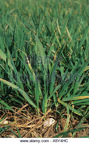 Wild oats Avena fatua seedling plant in young wheat - Stock Photo