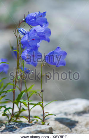 fairies thimbles (Campanula cochleariifolia), blooming on a rock, Germany, Nebelhorn - Stock Photo
