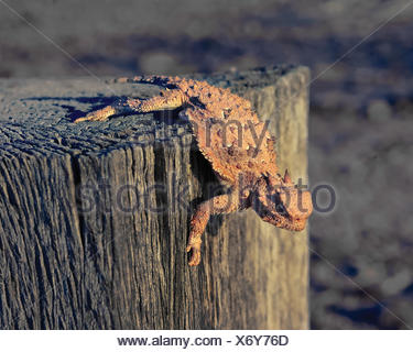 Horned Lizard crawling on a wooden post, Arizona, USA - Stock Photo
