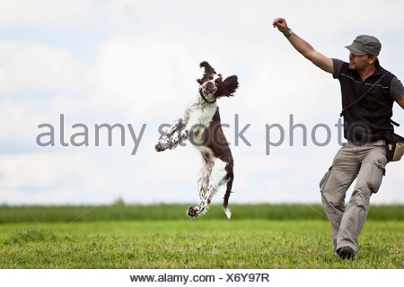 Germany, Lower Bavaria, Man training English Springer Spaniel in grass field - Stock Photo