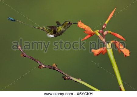 A Booted Racket-tail hummingbird (Ocreatus underwoodii) feeding at a flower while flying in the Tandayapa Valley of Ecuador. - Stock Photo