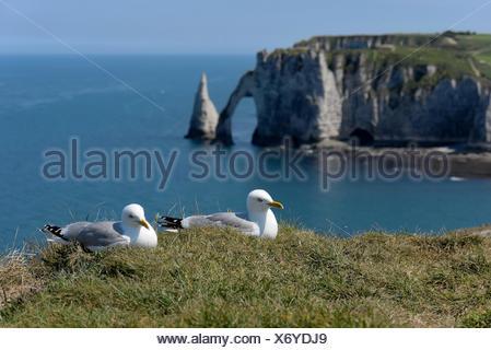 Herring Gull (Larus argentatus). Couple on the edge of the cliffs. Etretat, Normandy, France - Stock Photo